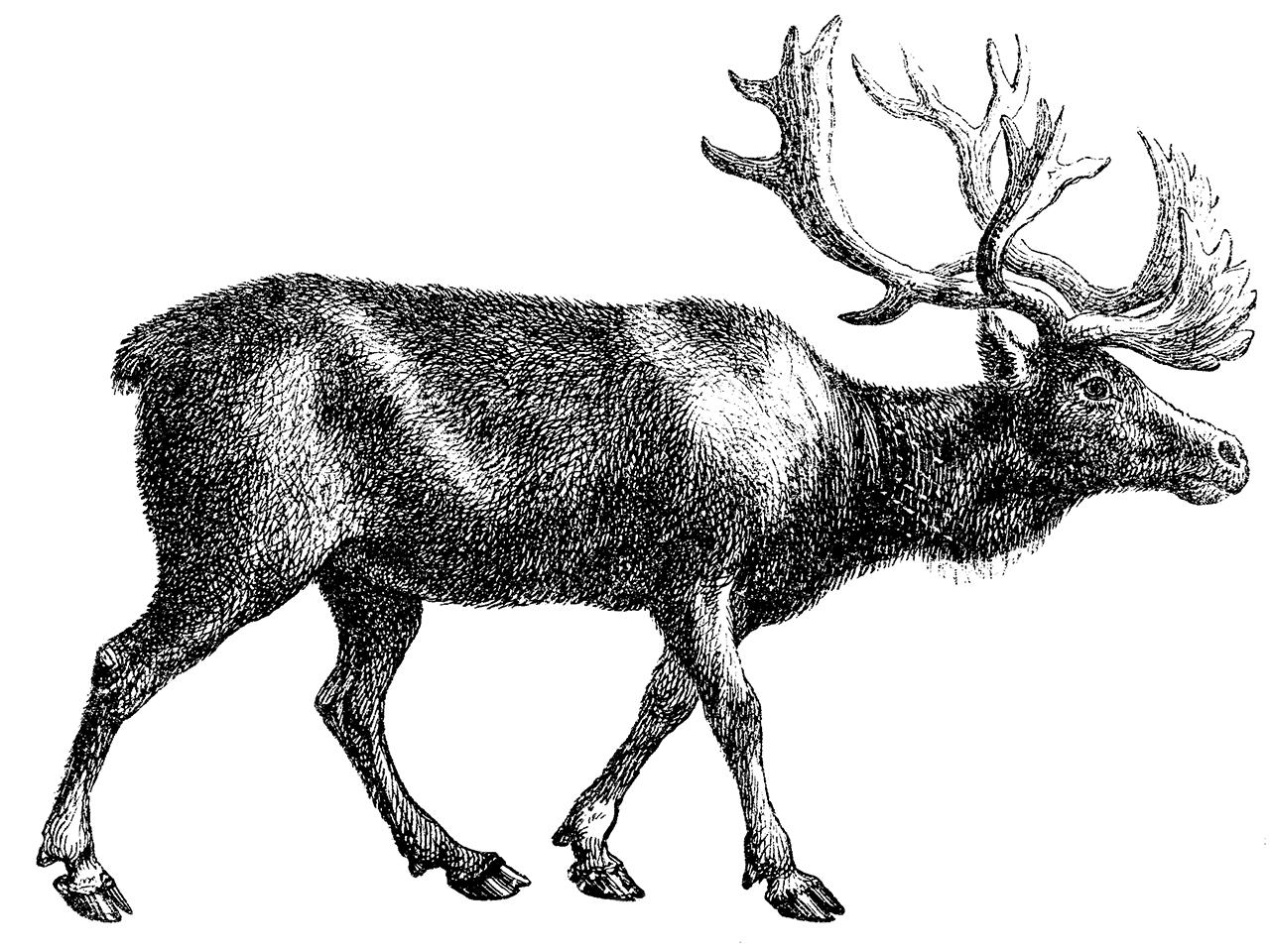 illustration of a caribou