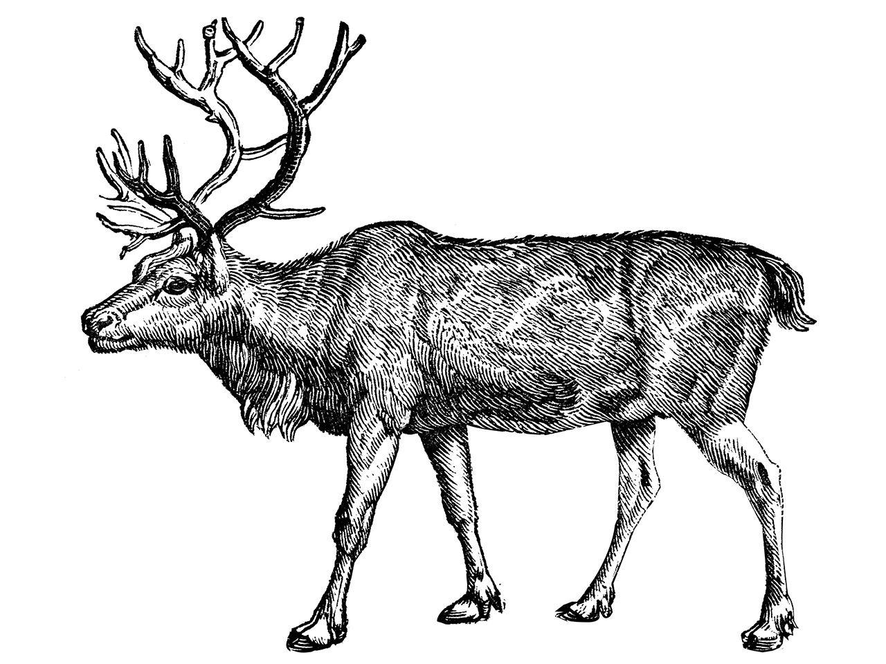 illustration of a reindeer