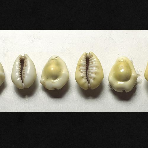 Small cowry shells, yellow and white oval shaped.